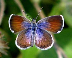 Western pygmy blue butterfly - photo#7