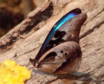 Morpho rhetenor helena (type specimens)