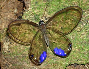 Paradise phantom butterfly - photo#11