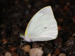 View the album E-3 Whites Pierinae