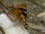Orophila cardases EC Jtntinagua BBt 03APR11 Vc.jpg