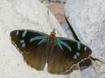 Orophila cardases EC Jtntinagua BBt 03APR11 Dc.jpg