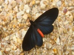 View the album E-6 Longwings & Actinotes Heliconiinae