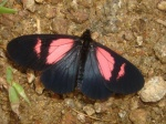 View the album E-4 Longwings & Actinotes Heliconiinae