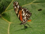 View the album E-3 Longwings & Actinotes Heliconiinae
