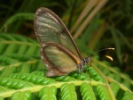 View the album E-4 Clearwings Ithomiinae