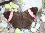 View the album E-3 Sisters Limenitidinae