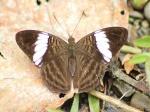 View the album E-4 Sisters Limenitidinae