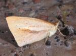 Lymanopoda huilana n.ssp. EC PpllcTermas TH 05APR11 V 0261c.jpg