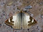 Lymanopoda huilana n.ssp. EC above Termas BBt 05APR11 D 3500mc.jpg