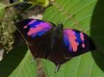 View the album E-4 Leafwings Charaxinae