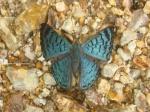 View the album E-4 Metalmarks Riodinidae