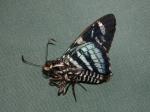 View the album E-6 Skippers, Firetips Pyrrhopyginae