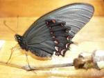 View the album E-4 Swallowtails Papilionidae