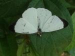 View the album E-6 Whites Pierinae