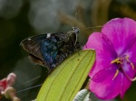 View the album E-3 Skippers, Spreadwings Pyginae