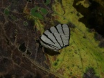View the album E-3 Hairstreaks & Blues Lycaenidae