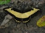 View the album E-6 Swallowtails Papilionidae