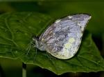 View the album E-4 Mimic-whites Dismorphiinae