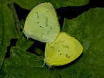 View the album E-4 Sulphurs Coliadinae