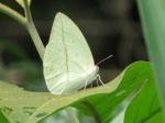 View the album E-6 Sulphurs Coliadinae