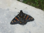 View the album E-4 Skippers, Firetips Pyrrhopyginae