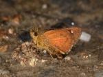 View the album E-3 Skippers, Skipperlings Heteropterinae