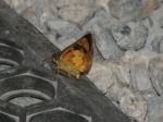 View the album E-6 Skippers, Skipperlings Heteropterinae